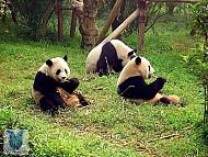 Khu bảo tồn Gấu Trúc Lớn tại Tứ Xuyên