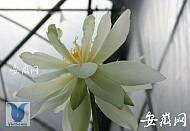 """Trung Quốc : Hạt sen cổ đại 600 tuổi """"thức dậy"""" nở rộ"""