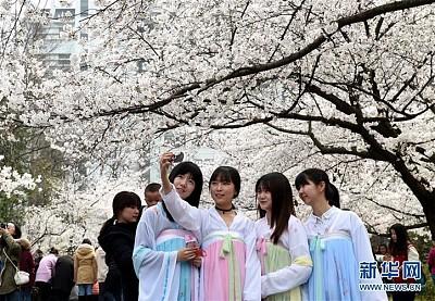 Lễ hội hoa anh đào tại trường đại học Lâm Nghiệp ở thành phố Nam Kinh Trung Quốc