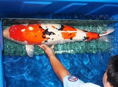 Trộm cá gần 200 triệu đem nấu lẩu ở thành phố Phật Sơn, tỉnh Quảng Đông Trung Quốc
