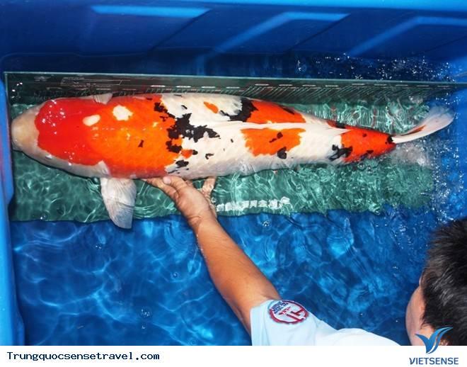 Trộm cá gần 200 triệu đem nấu lẩu ở thành phố Phật Sơn, tỉnh Quảng Đông Trung Quốc,trom ca gan 200 trieu dem nau lau o thanh pho phat son tinh quang dong trung quoc